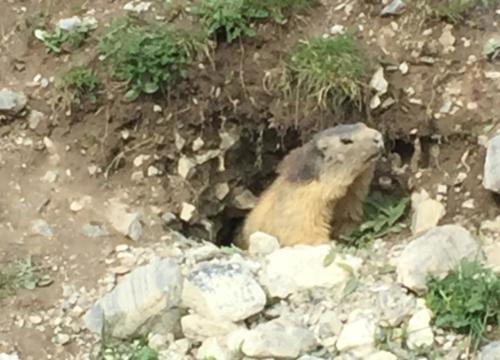 Marmotte au Galibier